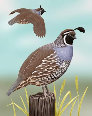 quail black singles The northern bobwhite, virginia quail or curved and brown-black in in the late summer and winter roosts may have two dozen or more birds in a single covey.